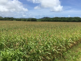 Pre hurricane Lane Corn basking in the sun at Drent Farms in Lihue
