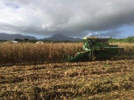 Beautiful morning of harvest in Lihue.