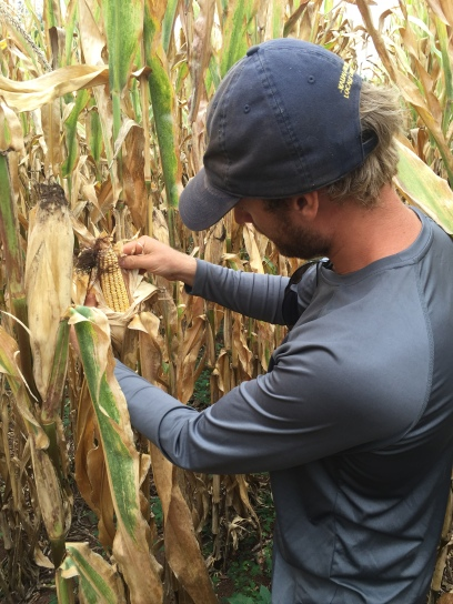Trevyn Pless inspecting 2019 whisky corn.